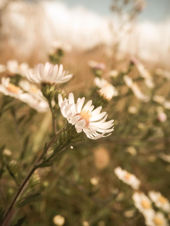 vintage daisy by barefootphotos on DeviantArt