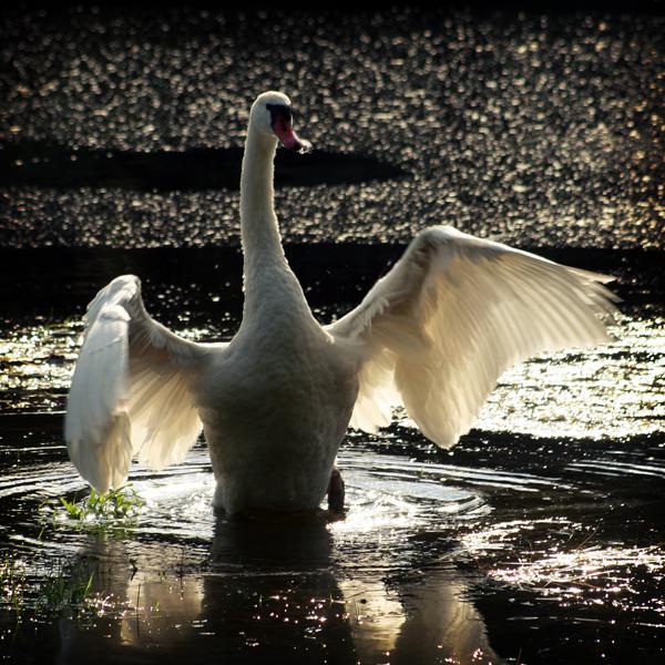 The Swan by voorikvergeet