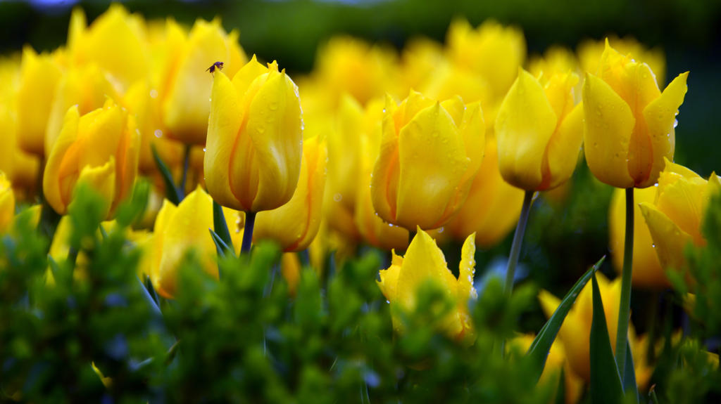 Yellow Tulips by vabserk