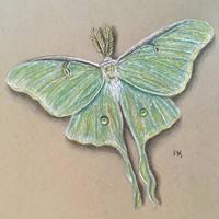 Luna Moth // colored pencil