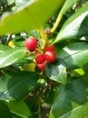 Berry tree by akortu15