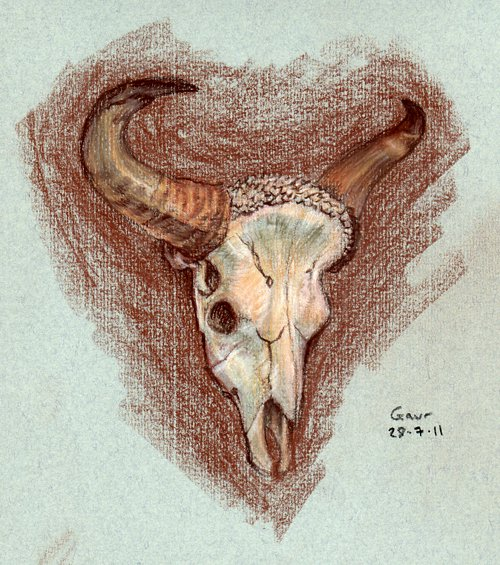 Gaur skull by WarrenJB