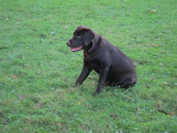 Best Labrador Puppy Dry Food