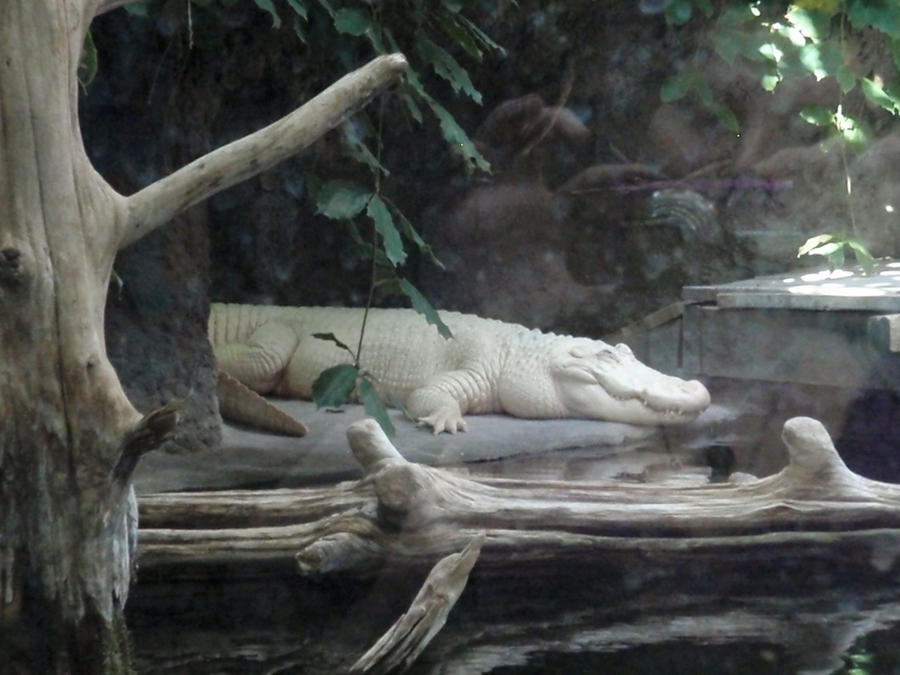 'ALBINO ALLIGATOR'