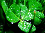 Misted Clovers 2