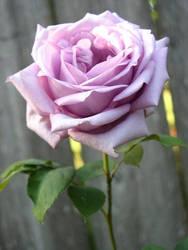 Purple Rose by Ultra-Raptor