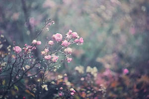 Winter rose by Araffatka
