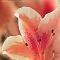 pink by morettina