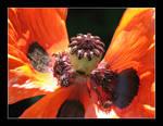 Poppy Flower by ladyhawk21