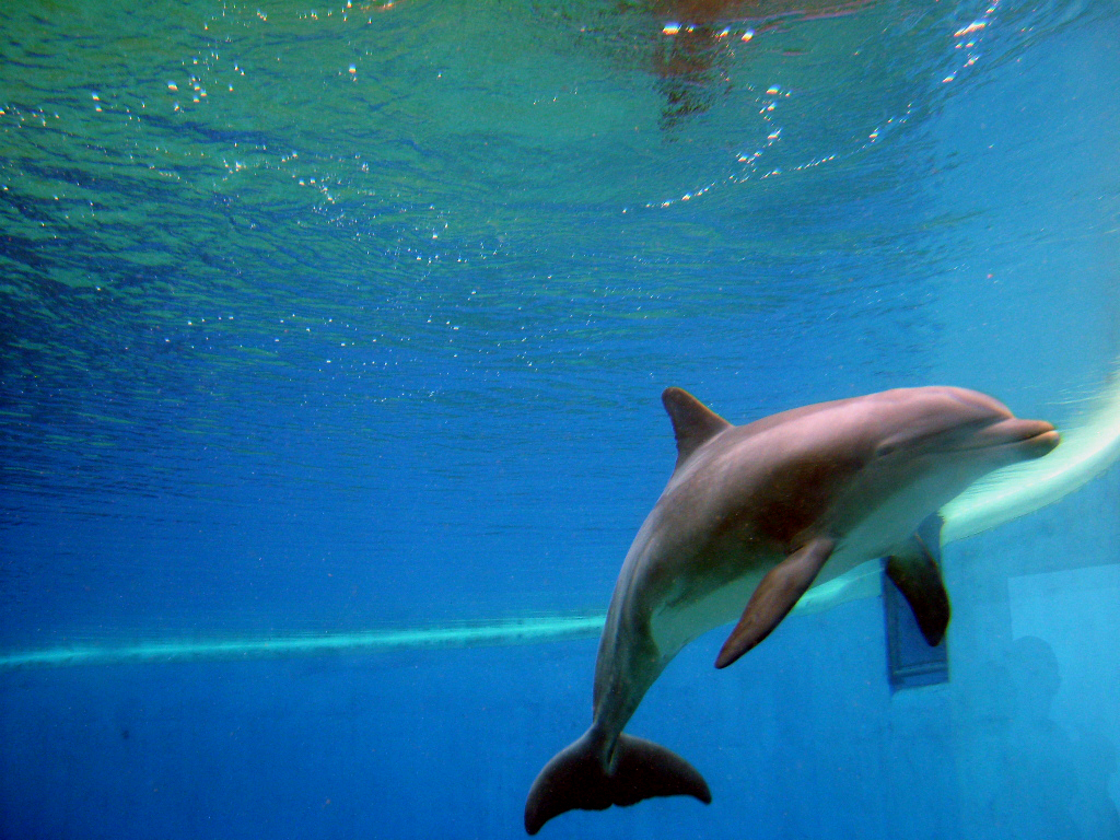 bottlednosed dolphins Bottlenose dolphins are well known as the intelligent and charismatic stars of many aquarium shows and can be seen readily in the wild around los cabos.