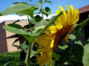 Sunflower - 03