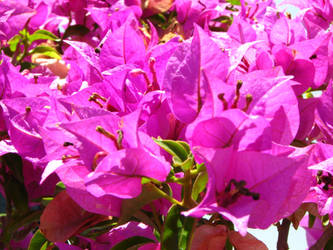 Bonsai Pink