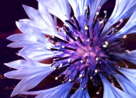 Centaurea cyanus by Schunki