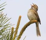 Clay-colored Sparrow II