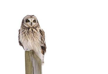 Short-eared Owl II by Tucky13