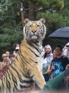 Tiger Pose by AbyssinalPhantom