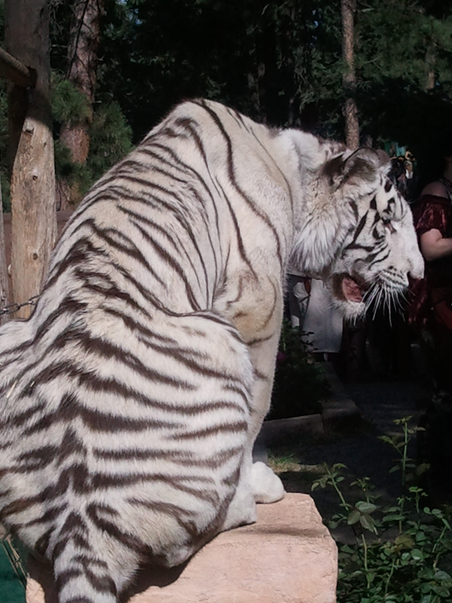 White Tiger 1 by AbyssinalPhantom