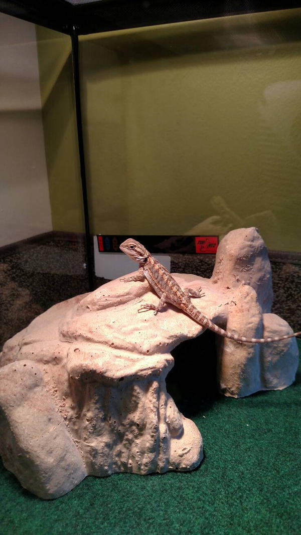 Baby bearded dragon by AbyssinalPhantom