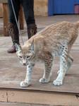 Lynxa
