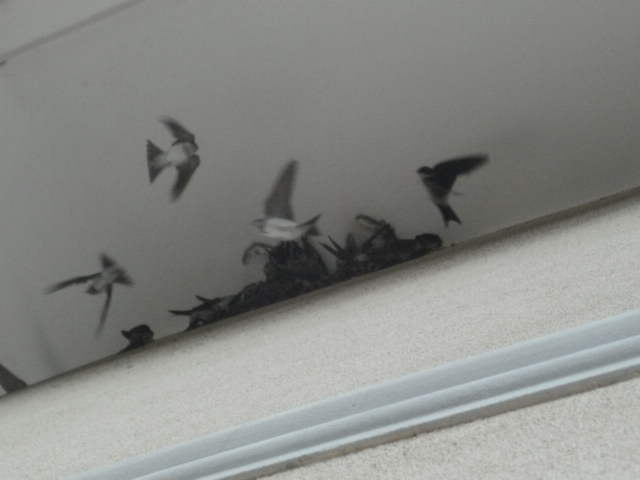 A parliament of swallows (pt.1) by Kazuma27