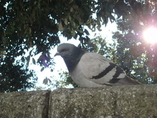 Portrait of a pigeon pt. 1 by Kazuma27