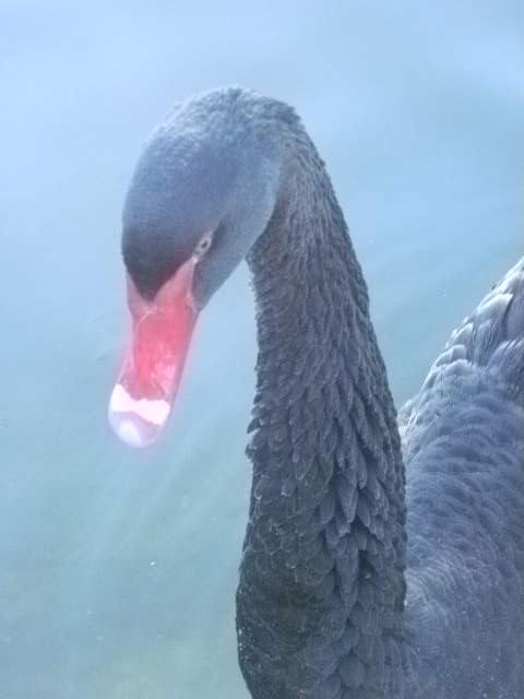 The original Black Swan. by Kazuma27