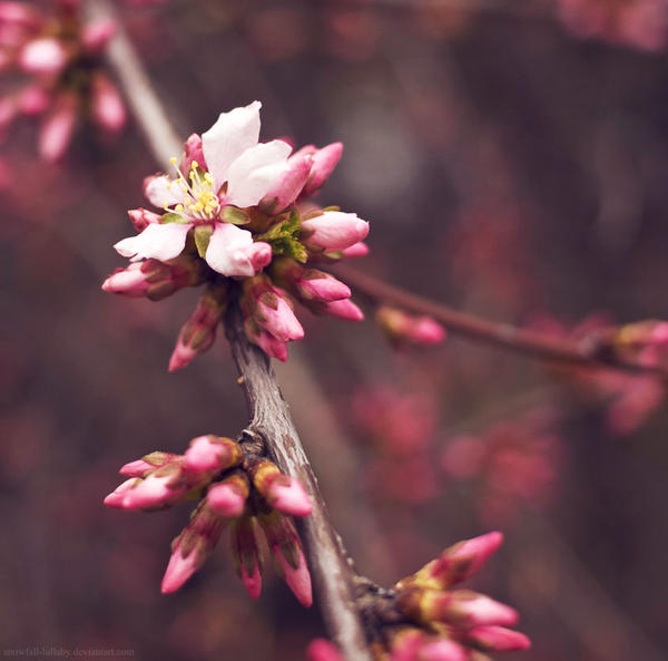 Young sakura by Snowfall-lullaby