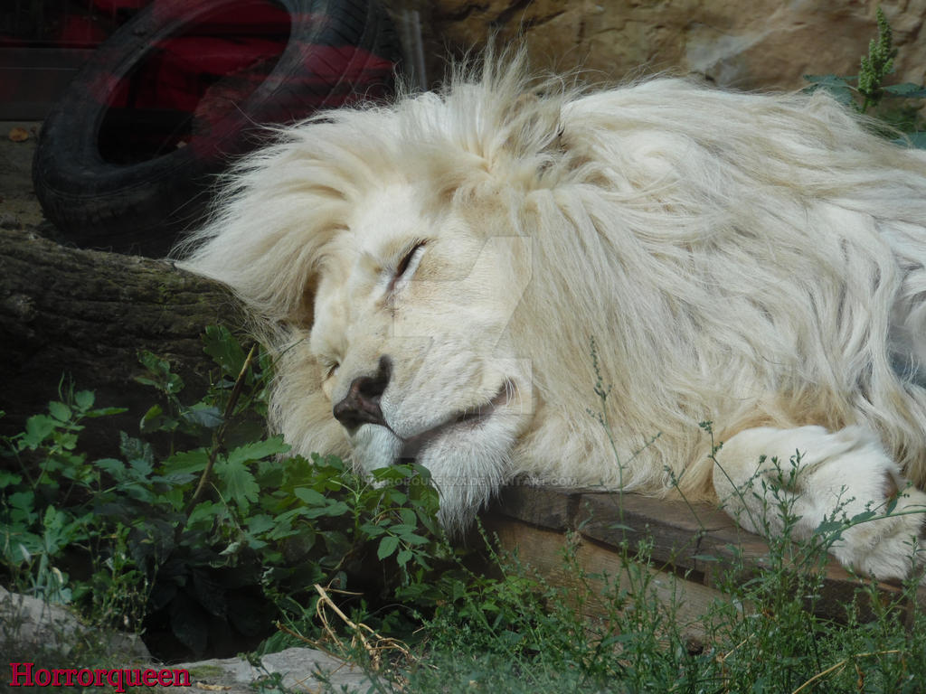 lazy lion dating
