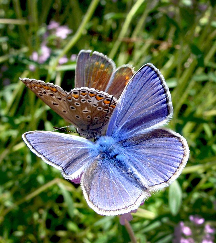 Butterfly by Kotka666