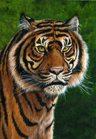 Tiger by ravenscar45