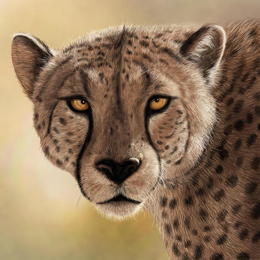 Cheetah by ravenscar45