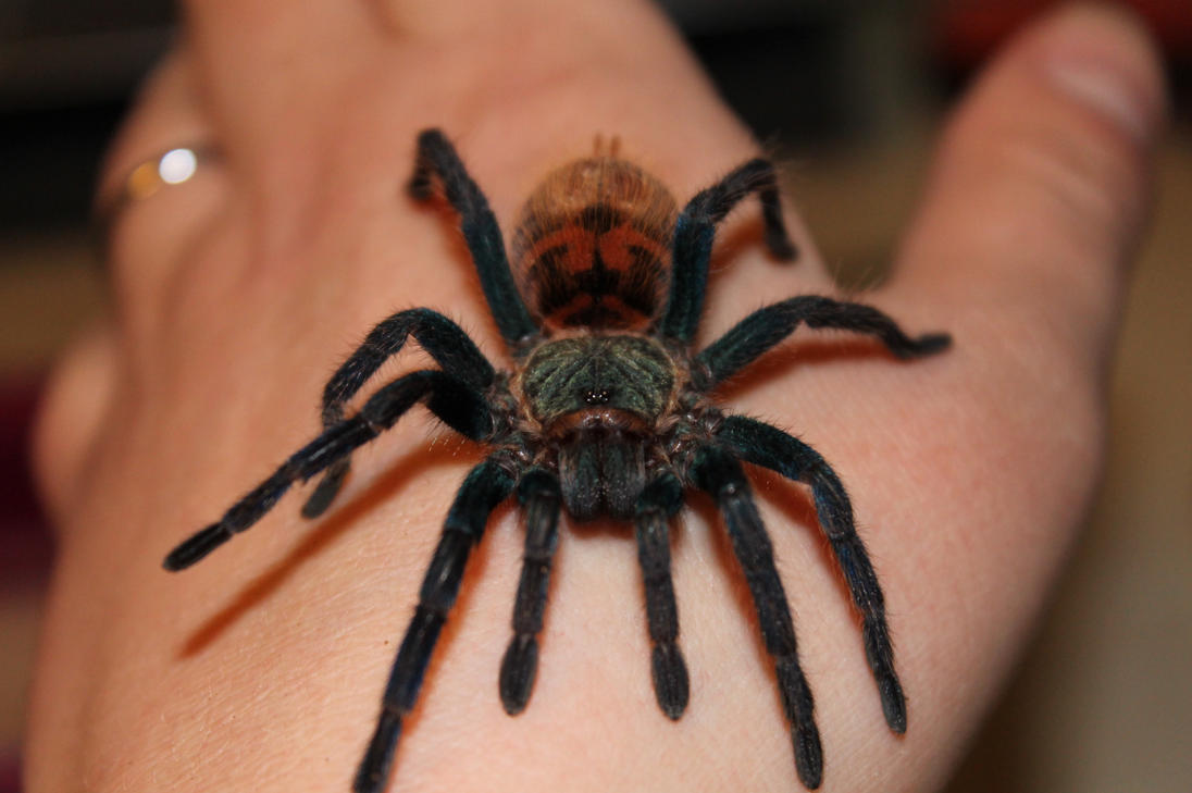Green Bottle Blue Tarantula handling by Blackmoonlight on ...
