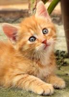 Orange kitty by Biljana1313