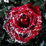 Frosty rose by Biljana1313