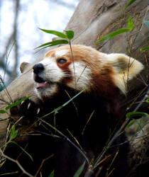 Red Panda by Biljana1313