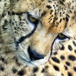 Cheetah by Biljana1313
