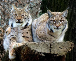 Lynx and Lynx by Biljana1313