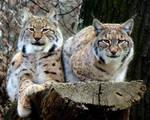 Lynx and Lynx