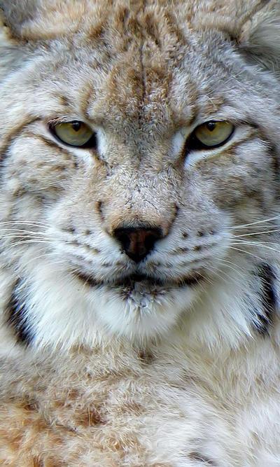 .:Lynx:. by Biljana1313