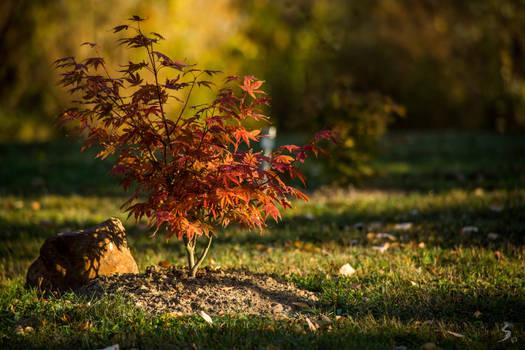 Jewel of the garden (Acer Atropurpureum)