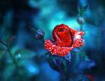 morning rose...