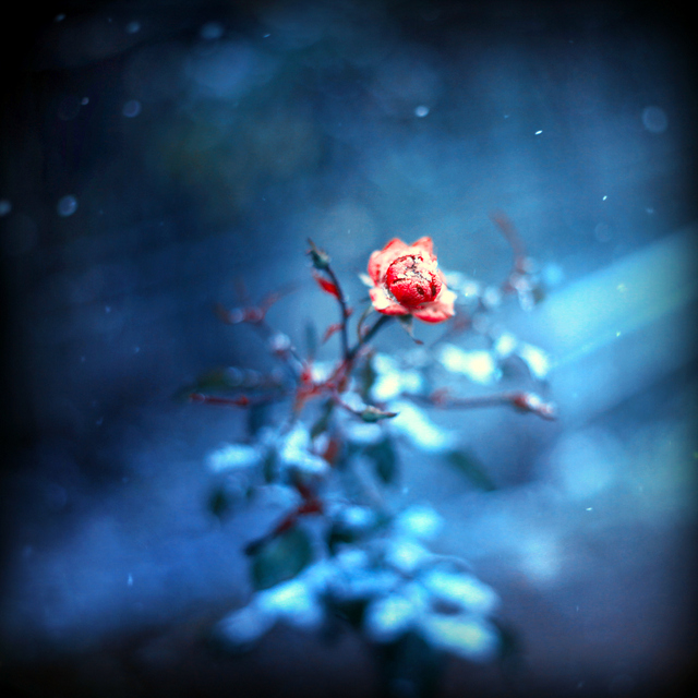 winter rose... by BaxiaArt