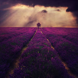Lavender by BaxiaArt