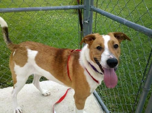 Smooth Collie Mix Colby - smooth coat collie lab