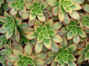 Succulents 2a