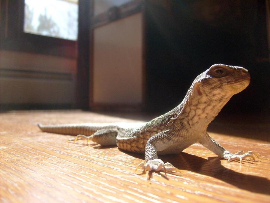 Our baby desert iguana Drazil by DragonKnightDrazil on ...