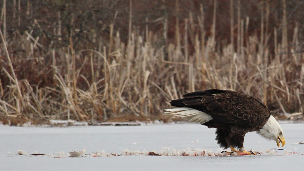 Eagle by nikishka
