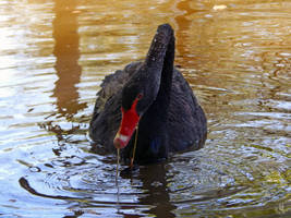 Black swan - 1 by resh11ka