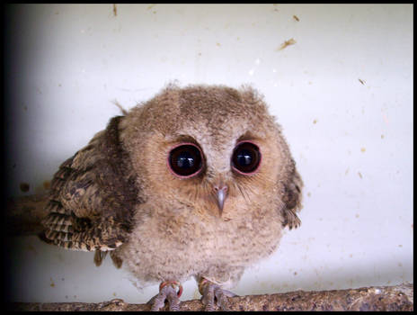 Baby Scops Owl II