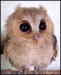 Baby Scops Owl III by makibird